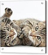 Kitten Companions Acrylic Print