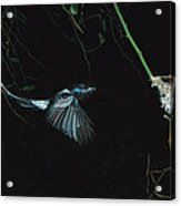 Madagascar Paradise Flycatcher Acrylic Print by Cyril Ruoso