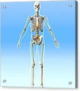 Male Skeleton, Artwork Acrylic Print