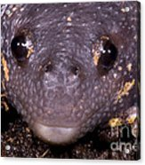 Mexican Burrowing Toad Acrylic Print
