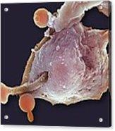 Neutrophil Engulfing Thrush Fungus, Sem Acrylic Print