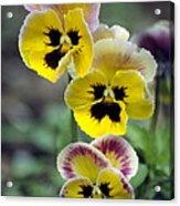 Pansies (viola Wittrockiana) Acrylic Print