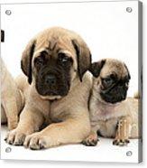 Pug And English Mastiff Puppies Acrylic Print