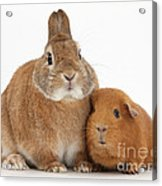 Rabbit And Guinea Pig Acrylic Print