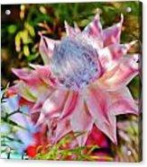 Serruria Rosea Acrylic Print