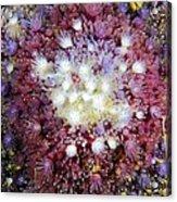 Spiny Sunstar Acrylic Print