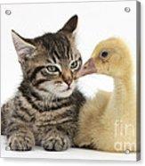 Tabby Kitten With Yellow Gosling Acrylic Print