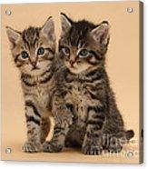 Tabby Kittens Acrylic Print
