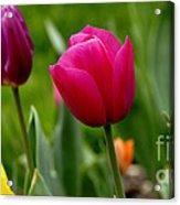 Tulip Garden University Of Pittsburgh  Acrylic Print