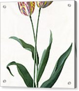 5 Tulip Tulip  Acrylic Print