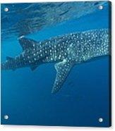 Whale Shark Acrylic Print