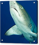 Whitetip Reef Shark, Kimbe Bay, Papua Acrylic Print