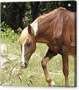 Wild Spanish Mustang Of Obx Nc Acrylic Print