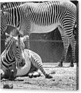 Zebras In Black And White Acrylic Print