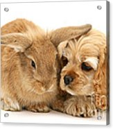 Cocker Spaniel And Rabbit Acrylic Print