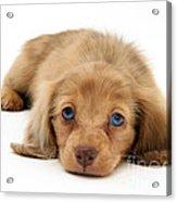 Dachshund Pup Acrylic Print by Jane Burton