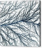 Electrical Discharge Lichtenberg Figure Acrylic Print by Ted Kinsman