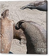 Elephant Seal Colony On Big Sur  Acrylic Print