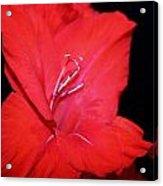 Gladiola Acrylic Print by Cathie Tyler