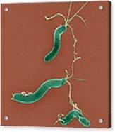 Helicobacter Pylori Bacteria, Sem Acrylic Print