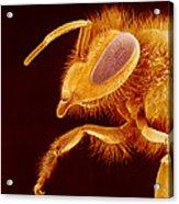 Honey Bee, Sem Acrylic Print