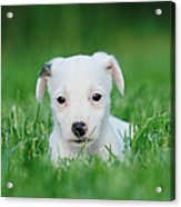Jack Russell Terrier Puppy Acrylic Print