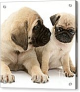 Pug And English Mastiff Puppies Acrylic Print by Jane Burton