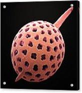 Radiolarian, Sem Acrylic Print by Steve Gschmeissner