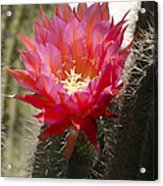 Red Cactus Flower Acrylic Print