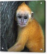 Silvered Leaf Monkey Trachypithecus Acrylic Print