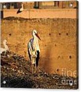 Storks In Marrakech Acrylic Print
