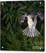 Tufted Titmouse In Flight Acrylic Print