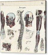 Anatomie Methodique Illustrations Acrylic Print