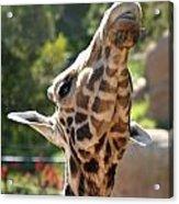 Baringo Giraffe Acrylic Print