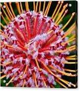 Common Pincushion Protea Acrylic Print