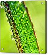 Dewdrops On Lemongrass Acrylic Print