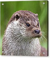 European Otter Acrylic Print