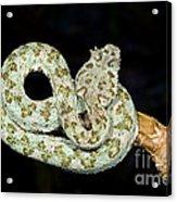 Eyelash Viper Acrylic Print