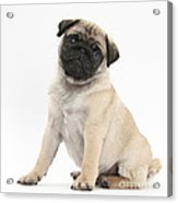 Fawn Pug Pup Acrylic Print