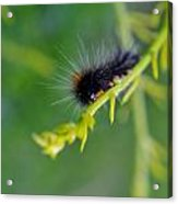 Hairy Caterpillar Acrylic Print
