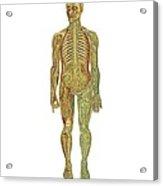 Human Anatomy, Artwork Acrylic Print