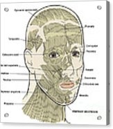 Illustration Of Facial Muscles Acrylic Print