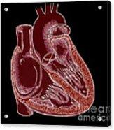 Illustration Of Heart Anatomy Acrylic Print