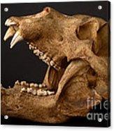 Kodiak Bear Skull Acrylic Print