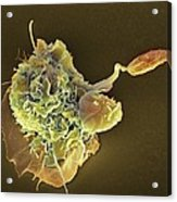 Macrophage Attacking A Foreign Body, Sem Acrylic Print by
