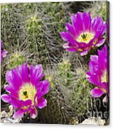 Pink Cactus Flowers Acrylic Print