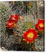 Red Cactus Flowers Acrylic Print