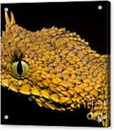 Usambara Eyelash Bush Viper Acrylic Print