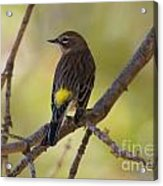 Yellow-rumped Warbler Acrylic Print