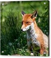 A British Red Fox Acrylic Print